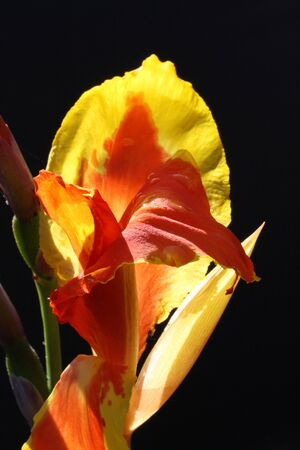 indica: canna indica,Gran Canaria,Spain Stock Photo