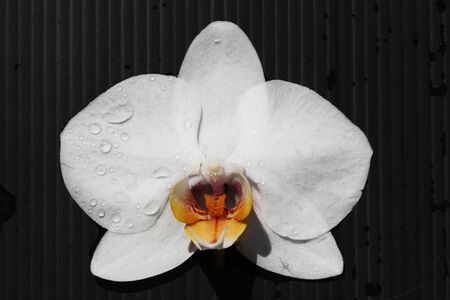 angiosperms: orchid phalaenopsis,Gran Canaria,Spain Stock Photo