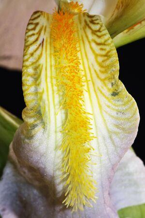 tracheophyta: iris,Gran Canaria,Spain Stock Photo