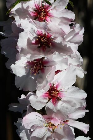 angiosperms: almond blossom,Gran Canaria,Spain Stock Photo