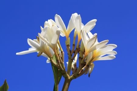 alba: plumeria alba,Gran Canaria,Spain Stock Photo
