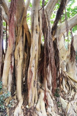 spermatophytina: common fig tree,Gran Canaria,Spain