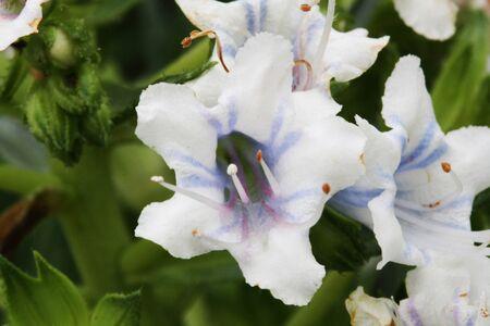 echium decaisnei,Gran Canaria,Spain Stock Photo - 15378258