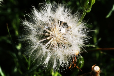 kerneudikotyledonen: hedypnois rhagadioloides,Gran Canaria,Spain Stock Photo