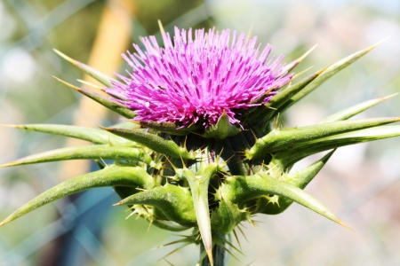 blessed milk thistle,Gran Canaria,Spain