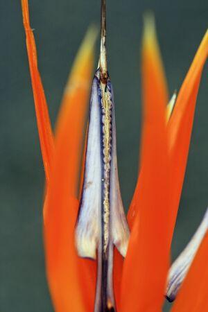 spermatophytina: strelitzia,Gran Canaria,Spain