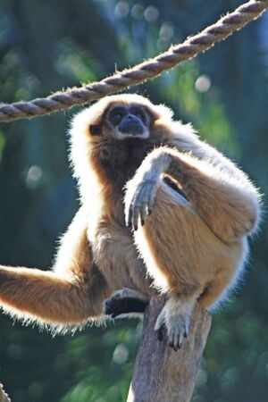 white-handed gibbon,Gran Canaria,Spain