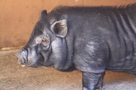pot bellied pig,Gran Canaria,Spain photo