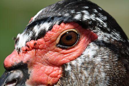 anseriformes: muscovy duck