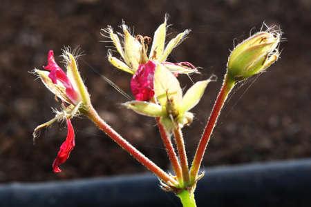 core eudicots: geranium,Gran Canaria,Spain