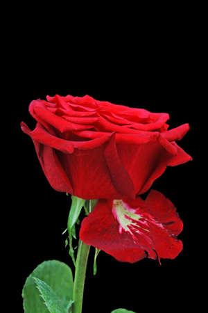 rose bud: rosa e bocciolo di rosa, Gran Canaria, Spagna