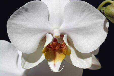tracheophyta: orchid phalaenopsis,Gran Canaria,Spain Stock Photo