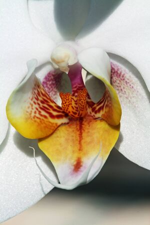 spermatophytina: orchid phalaenopsis,Gran Canaria,Spain Stock Photo