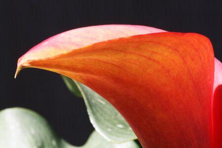spermatophytes: calla zantedeschia albomaculata,Gran Canaria,Spain