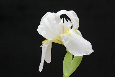 spermatophytina: iris,Gran Canaria,Spain Stock Photo