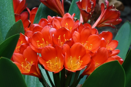 clivia miniata,Gran Canaria,Spain Stock Photo