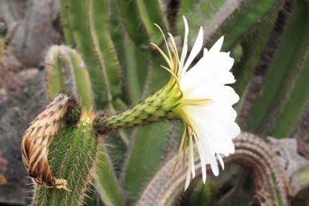 spermatophytes: cactus echinopsis spachiana,Gran Canaria,Spain