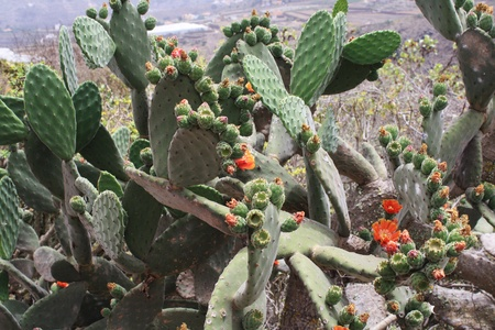 spermatophytina: cactus opuntia,Gran Canaria,Spain Stock Photo