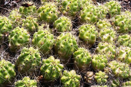 core eudicots: cactus echinocereus enneacanthus,Gran Canaria,Spain