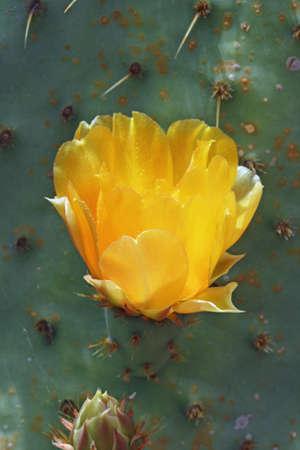 spermatophytes: cactus opuntia linguiformis,Gran Canaria,Spain