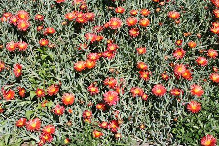 spermatophytes: mesembryanthemum croceum,Gran Canaria,Spain