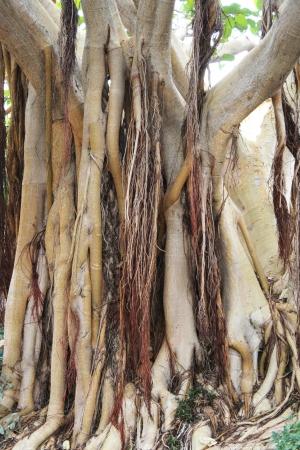 spermatophytes: common fig tree,Gran Canaria,Spain
