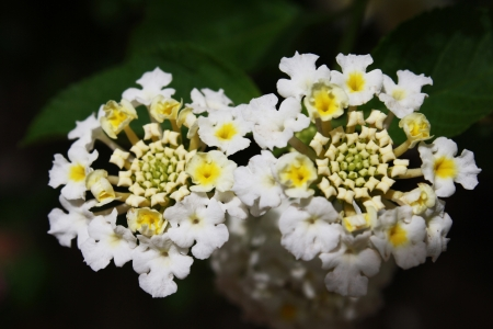 asterids: lantana camara,Gran Canaria,Spain Stock Photo