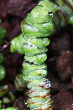 crassula: crassula marneriana,Gran Canaria,Spain Stock Photo