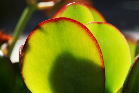 crassulacea: money plant,Gran Canaria,Spain