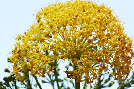 ferula linkii,Gran Canaria,Spain