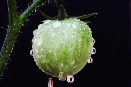 spermatophytes: tomato,Gran Canaria,Spain