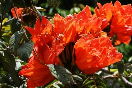 spermatophytina: african tulip tree,Gran Canaria,Spain Stock Photo
