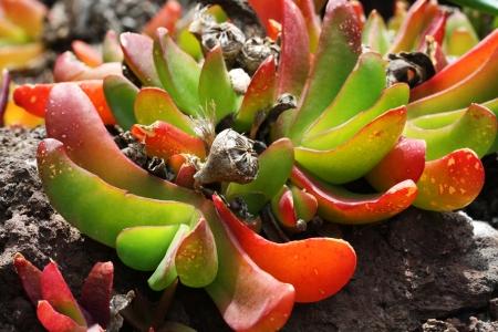 spermatophytes: glottiphyllum linguiforme, Gran Canaria,Spain