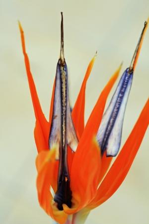 spermatophytes: strelitzia,Gran Canaria,Spain
