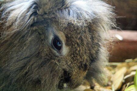 lagomorpha: rabbit,Gran Canaria,Spain Stock Photo