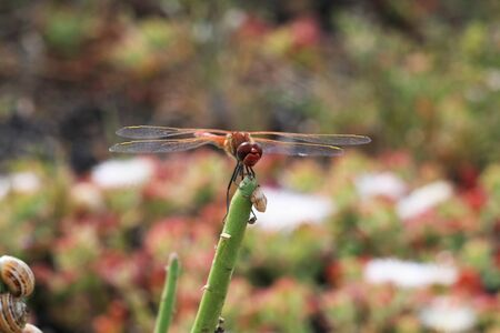 insecta: dragonfly,Gran Canaria,Spain