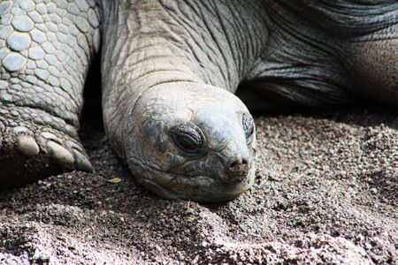 aldabra giant tortoise,Gran Canaria,Spain Stock Photo - 16153073