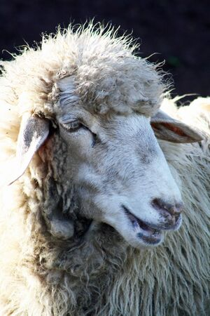 ruminants: sheep,Gran Canaria,Spain Stock Photo
