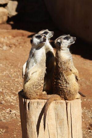 suricatta: meerkat,Gran Canaria,Spain