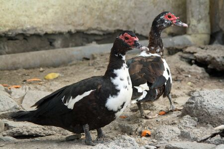 muscovy duck: muscovy duck,Gran Canaria,Spain