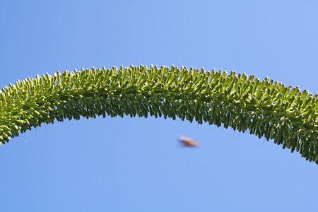 tracheophyta: agave attenuata,Gran Canaria,Spain