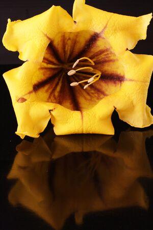 spermatophytina: solandra nitida,Gran Canaria,Spain