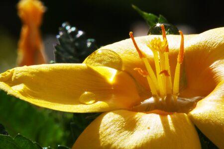 turnera ulmifolia,Gran Canaria,Spain Stock Photo - 16287995