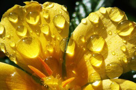 turnera ulmifolia,Gran Canaria,Spain Stock Photo - 16288123