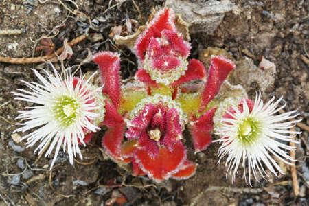 core eudicots: mesembryanthemum crystallinum,Gran Canaria,Spain