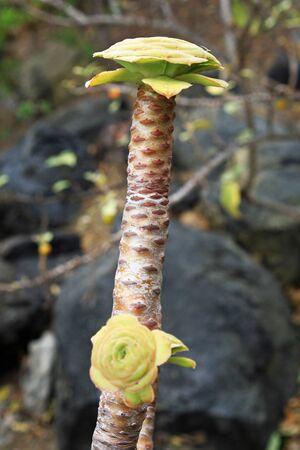 tracheophyta: aeonium arboreum,Gran Canaria,Spain