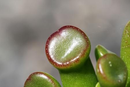 crassula: crassula argentea,Gran Canaria,Spain