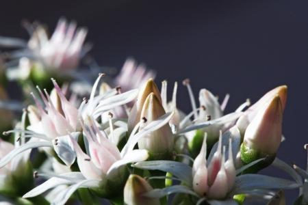 tracheophyta: money plant,Gran Canaria,Spain