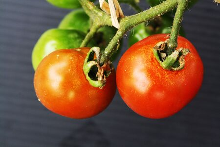 tracheophyta: tomato,Gran Canaria,Spain