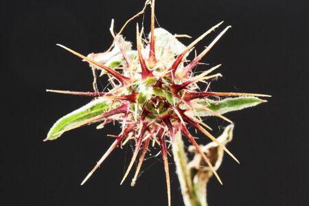 centaurea: centaurea melitensis,Gran Canaria,Spain